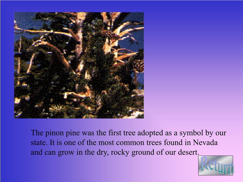 The pinon pine was the first tree adopted as a symbol by our state. It is one of the most common trees found in Nevada and can grow in the dry, rocky ground of our desert.