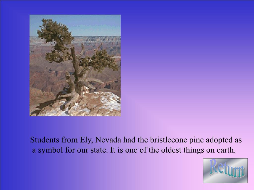 Students from Ely, Nevada had the bristlecone pine adopted as