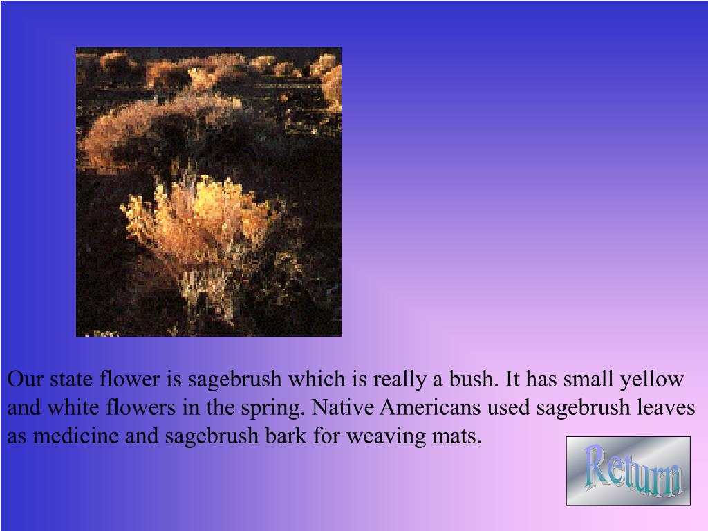 Our state flower is sagebrush which is really a bush. It has small yellow