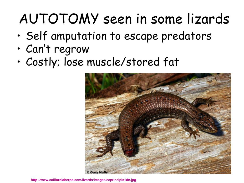 AUTOTOMY seen in some lizards