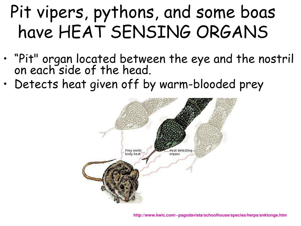 Pit vipers, pythons, and some boas have HEAT SENSING ORGANS