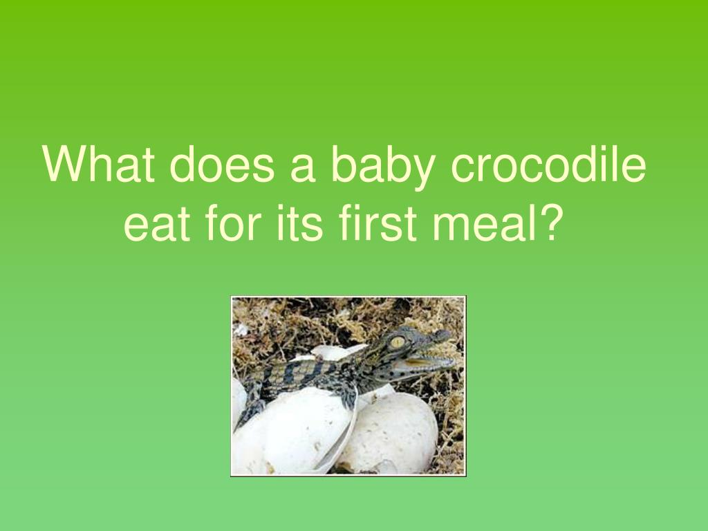 What does a baby crocodile eat for its first meal?