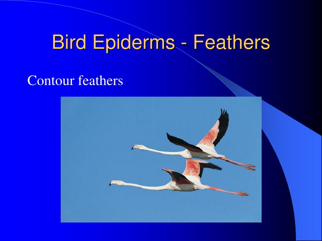 Bird Epiderms - Feathers