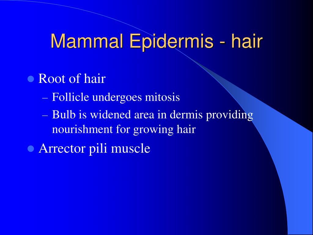 Mammal Epidermis - hair