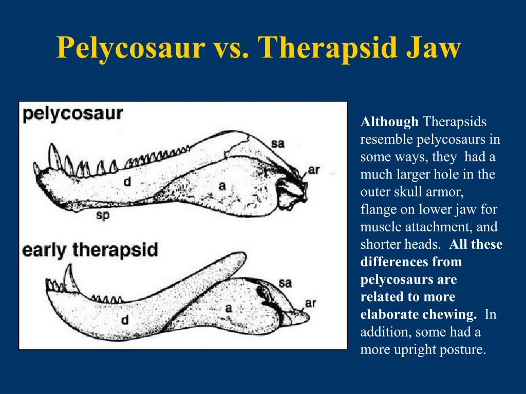 Pelycosaur vs. Therapsid Jaw