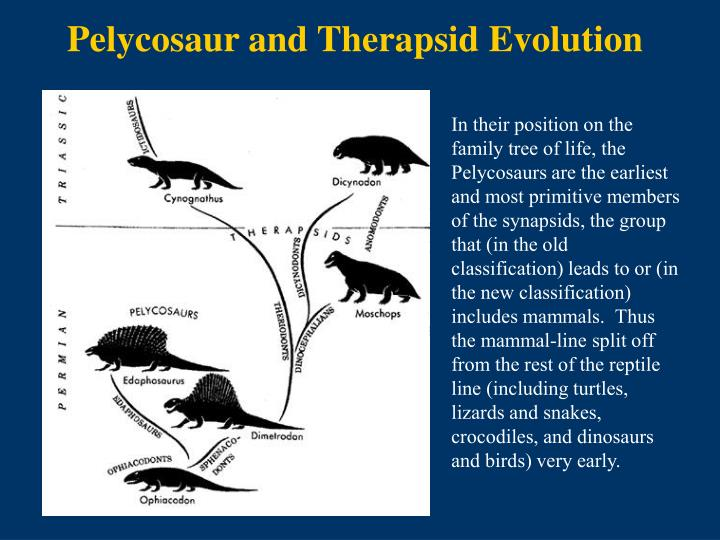 Pelycosaur and Therapsid Evolution