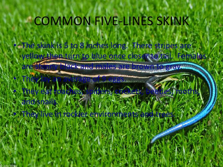 COMMON FIVE-LINES SKINK
