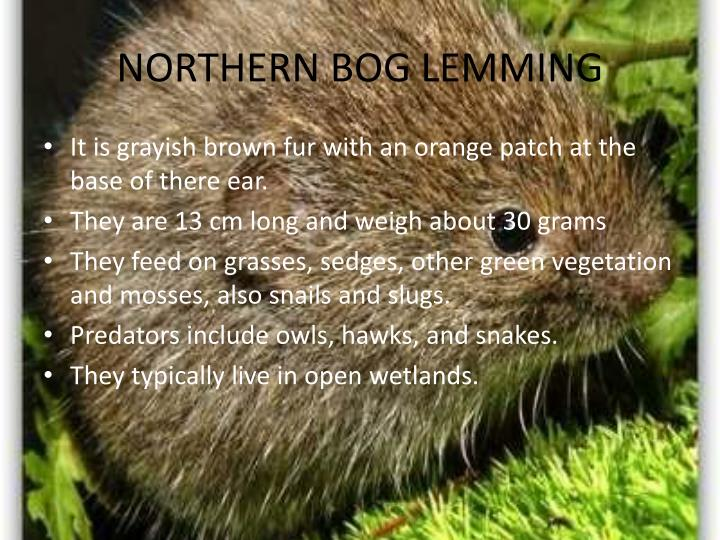 NORTHERN BOG LEMMING