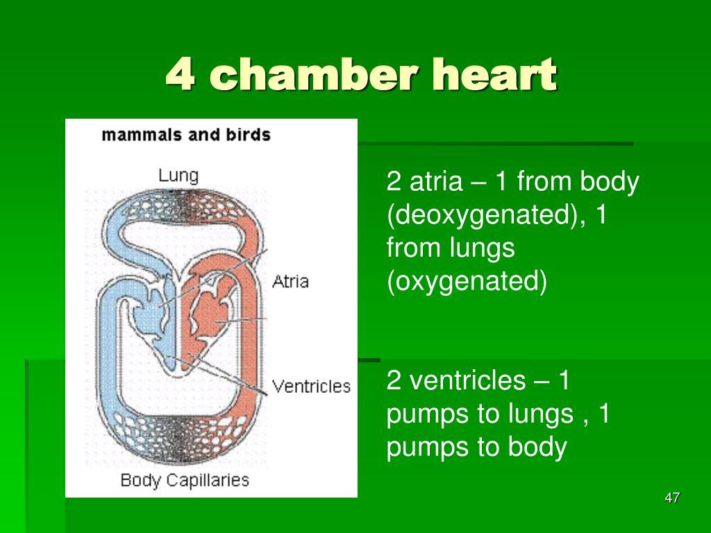 4 chamber heart