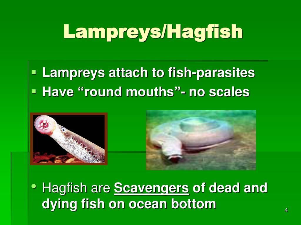 Lampreys/Hagfish