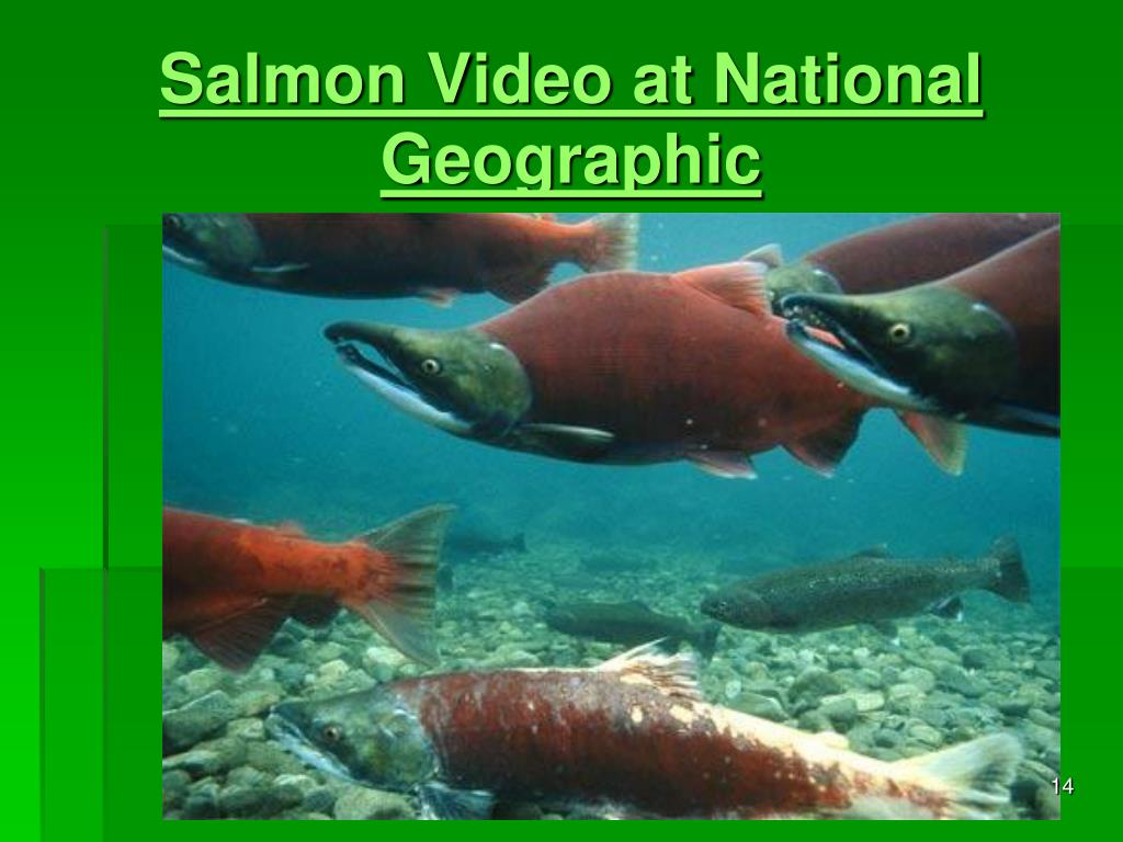 Salmon Video at National Geographic