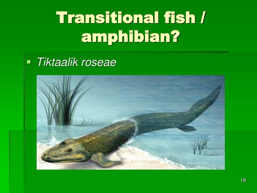 Transitional fish / amphibian?