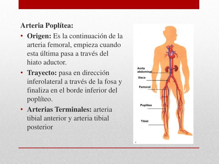 Arteria Poplítea: