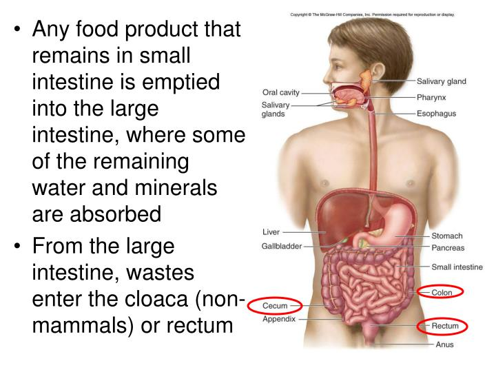 Any food product that remains in small intestine is emptied into the large intestine, where some of the remaining water and minerals are absorbed