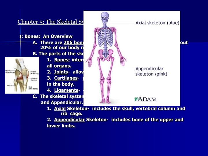 Chapter 5 the skeletal system