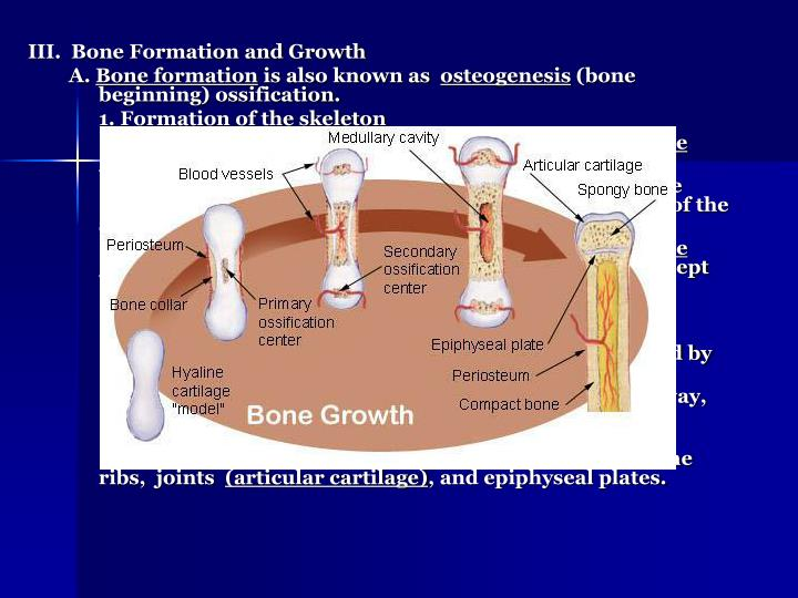 III.  Bone Formation and Growth