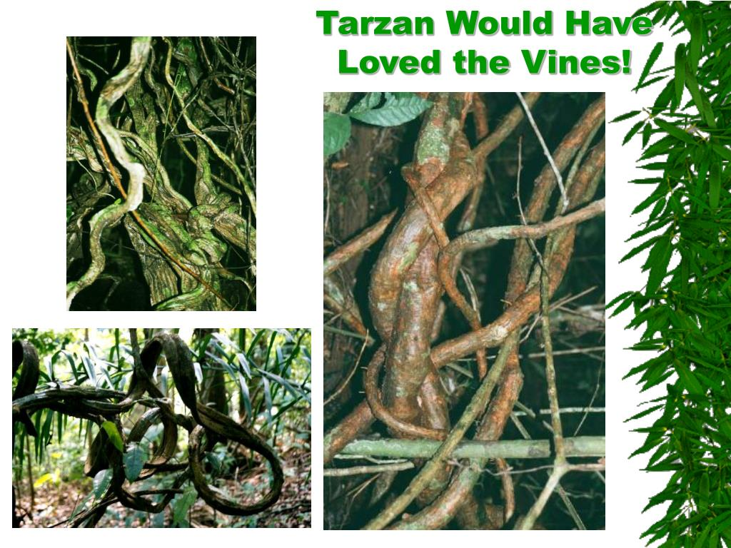 Tarzan Would Have Loved the Vines!