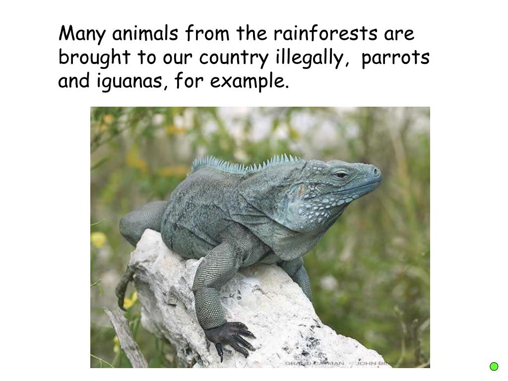 Many animals from the rainforests are brought to our country illegally,  parrots and iguanas, for example.