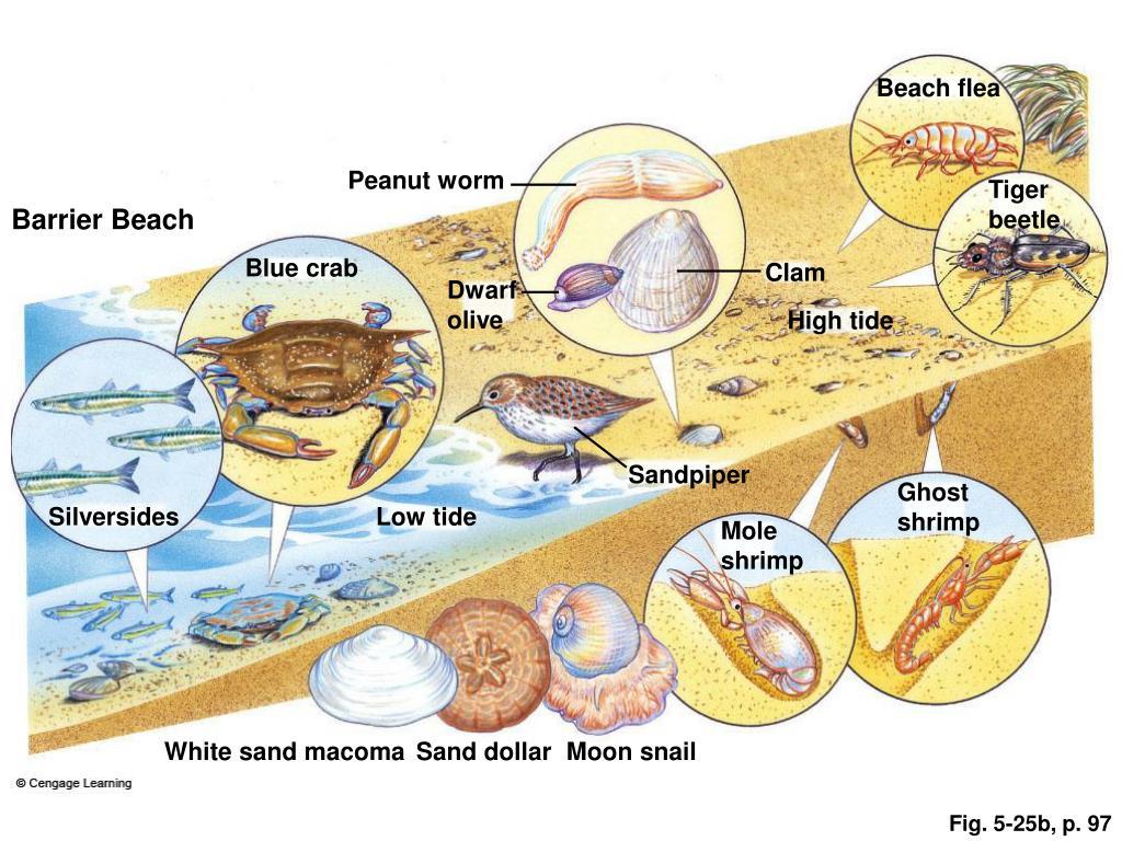 Beach flea