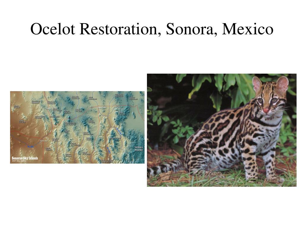 Ocelot Restoration, Sonora, Mexico