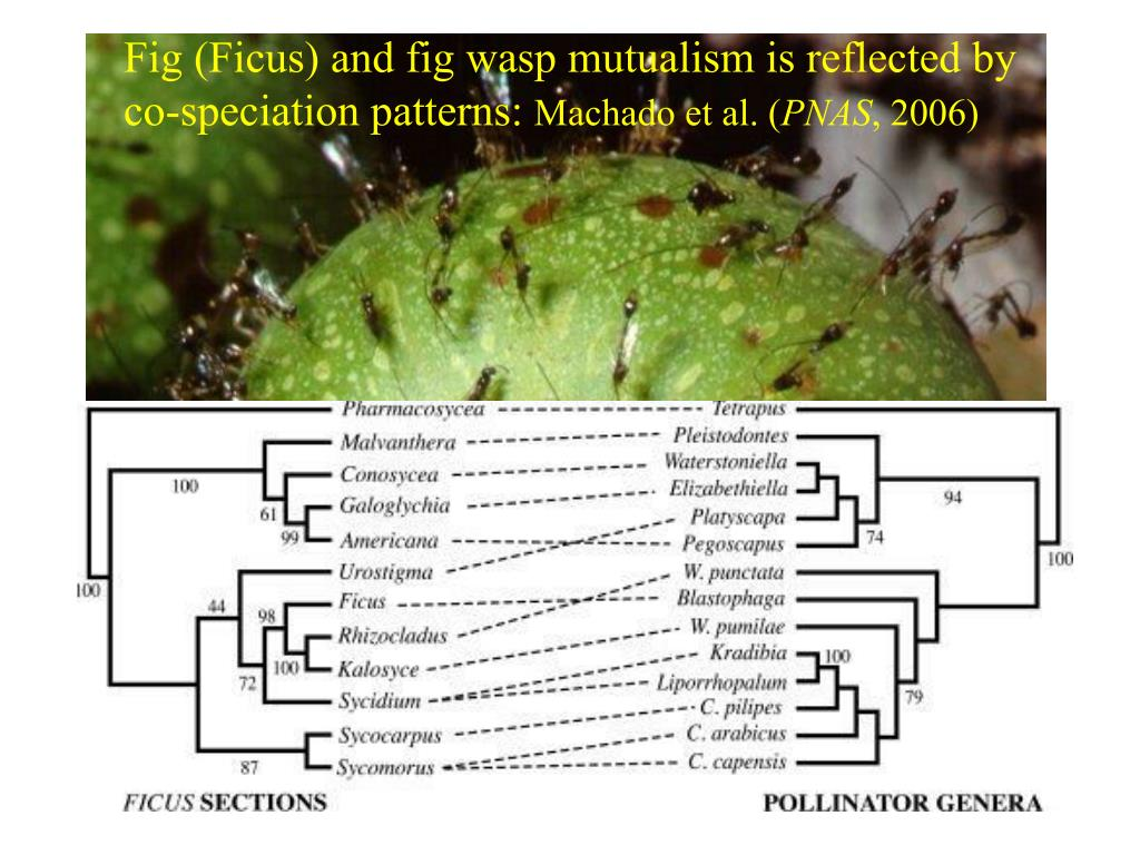 Fig (Ficus) and fig wasp mutualism is reflected by co-speciation patterns: