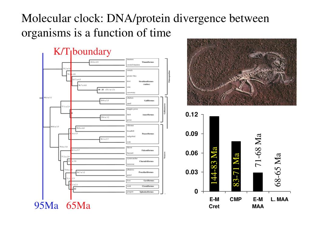 Molecular clock: DNA/protein divergence between organisms is a function of time
