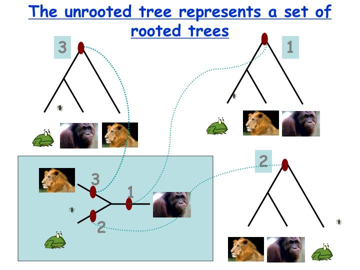 The unrooted tree represents a set of rooted trees