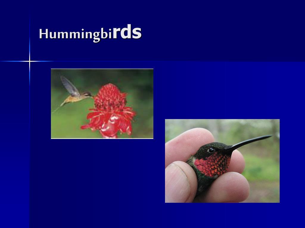 Hummingbi