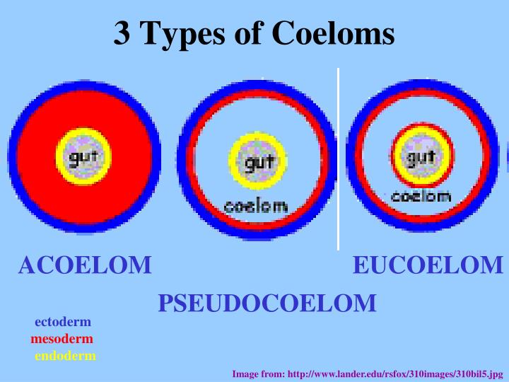 3 Types of Coeloms
