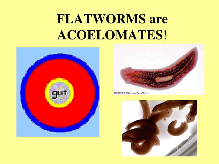 FLATWORMS are ACOELOMATES