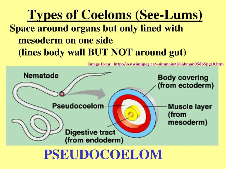 Types of Coeloms (See-Lums)