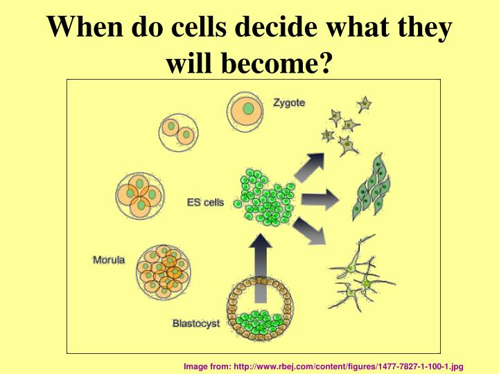 When do cells decide what they will become?