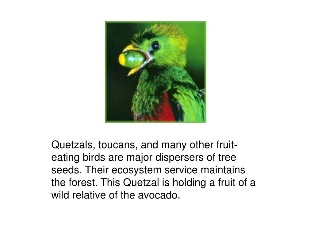 Quetzals, toucans, and many other fruit-eating birds are major dispersers of tree seeds. Their ecosystem service maintains the forest. This Quetzal is holding a fruit of a wild relative of the avocado.