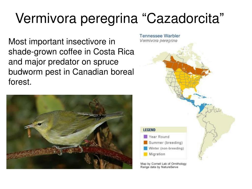 """Vermivora peregrina """"Cazadorcita"""""""
