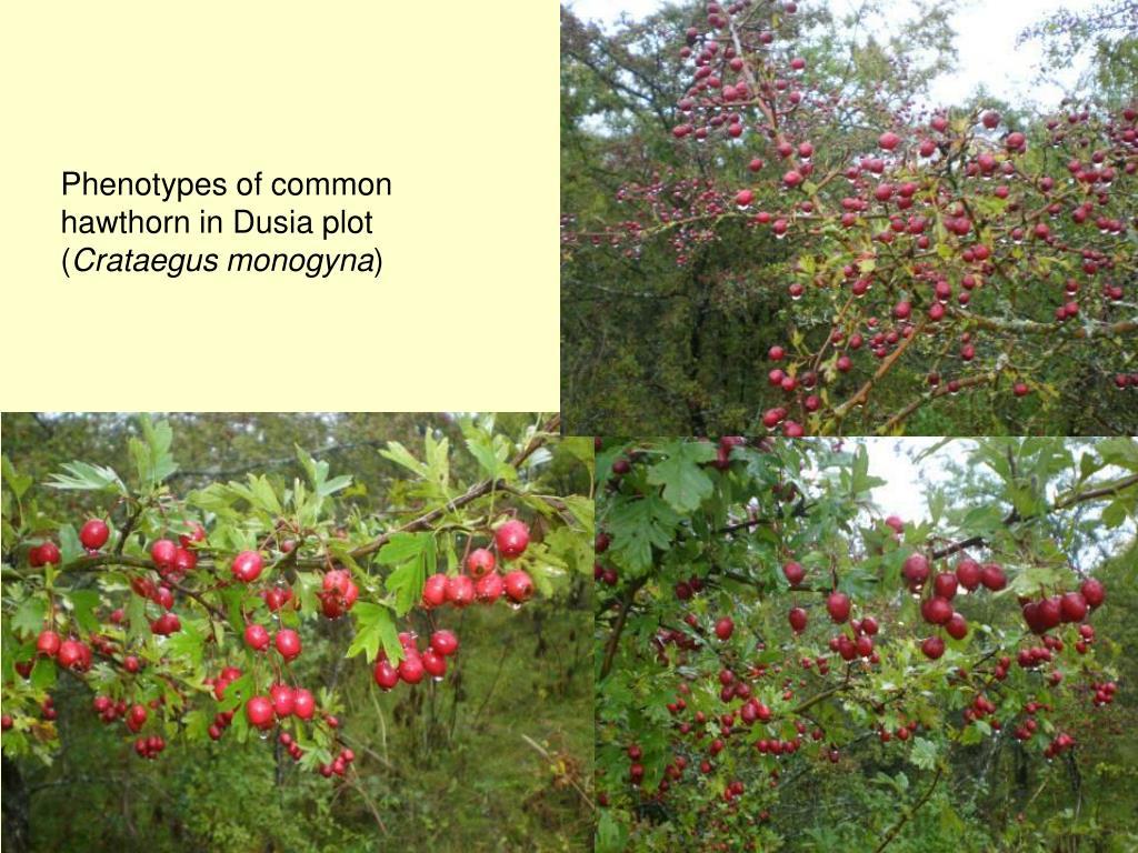 Phenotypes of common hawthorn in Dusia plot