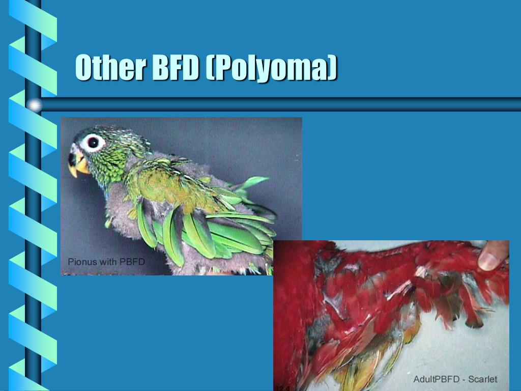Other BFD (Polyoma)