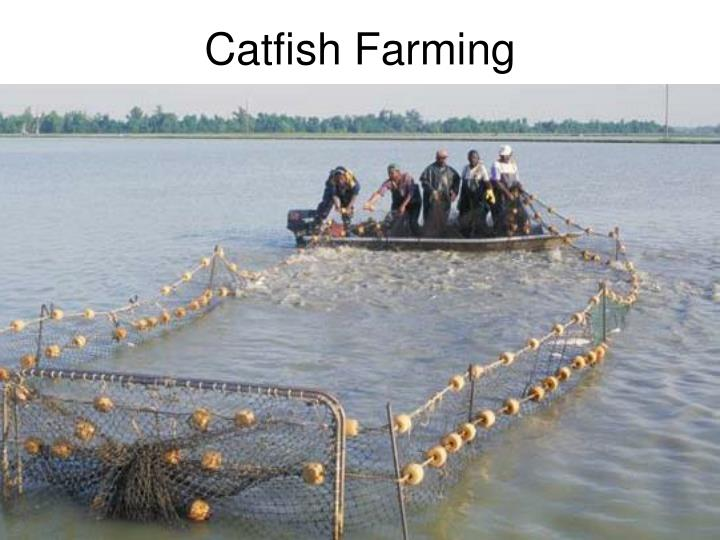 Catfish Farming