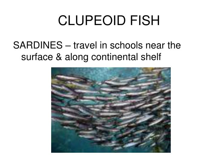 CLUPEOID FISH