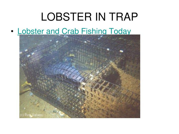 LOBSTER IN TRAP