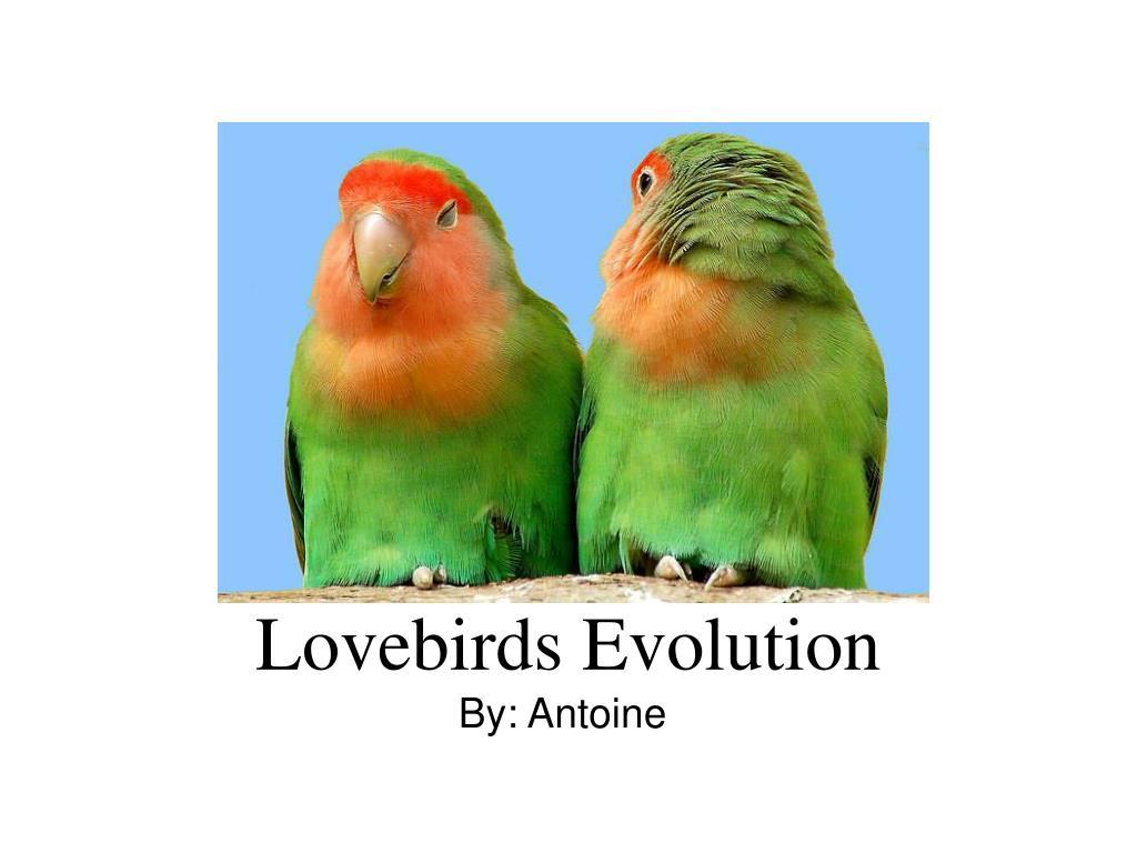 Lovebirds Evolution