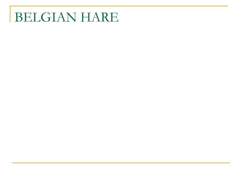 BELGIAN HARE