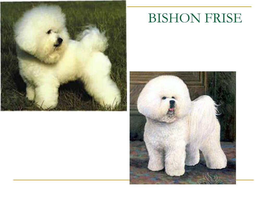 BISHON FRISE