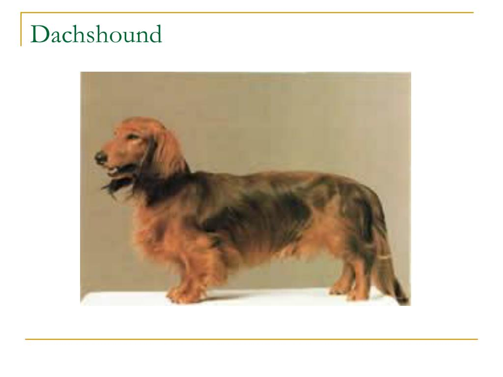 Dachshound
