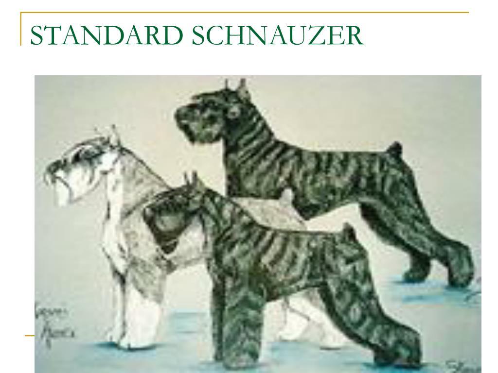 STANDARD SCHNAUZER