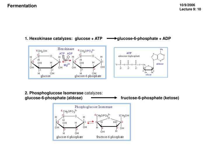 1. Hexokinase catalyzes: glucose + ATP             glucose-6-phosphate + ADP
