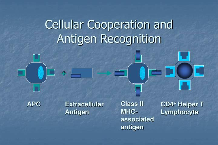 Cellular Cooperation and Antigen Recognition