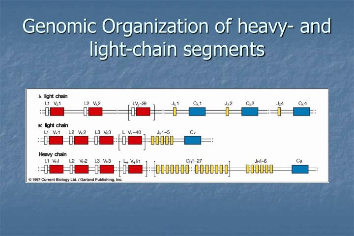Genomic Organization of heavy- and light-chain segments