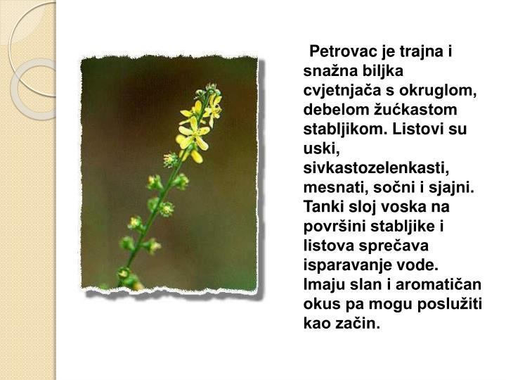 Petrovac je trajna i snažna biljka cvjetnjača s okruglom, debelom žućkastom stabljikom. Listovi su uski, sivkastozelenkasti, mesnati, sočni i sjajni. Tanki sloj voska na površini stabljike i listova sprečava isparavanje vode. Imaju slan i aromatičan okus pa mogu poslužiti kao začin.