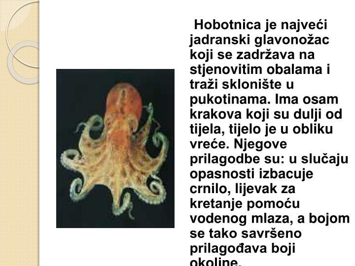 Hobotnica je najveći jadranski glavonožac koji se zadržava na stjenovitim obalama i traži sklonište u pukotinama. Ima osam krakova koji su dulji od tijela, tijelo je u obliku vreće. Njegove prilagodbe su: u slučaju opasnosti izbacuje crnilo, lijevak za kretanje pomoću vodenog mlaza, a bojom se tako savršeno prilagođava boji okoline.
