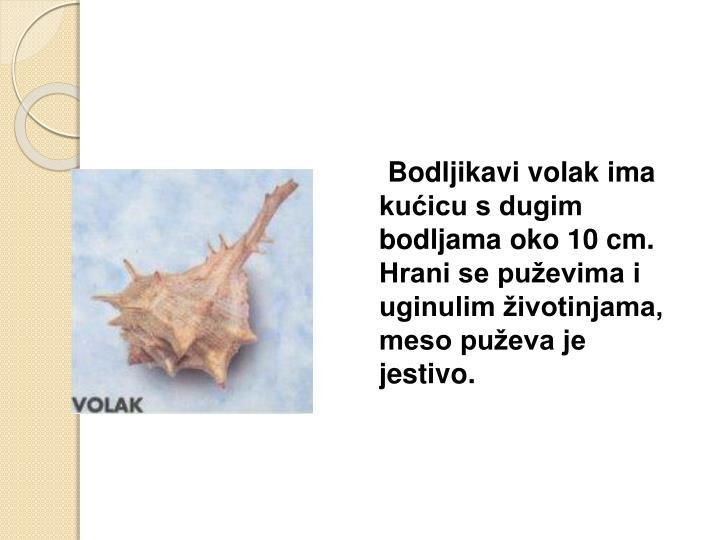 Bodljikavi volak ima kućicu s dugim bodljama oko 10 cm. Hrani se puževima i uginulim životinjama, meso puževa je jestivo.